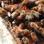 A close-up of our honeybees.